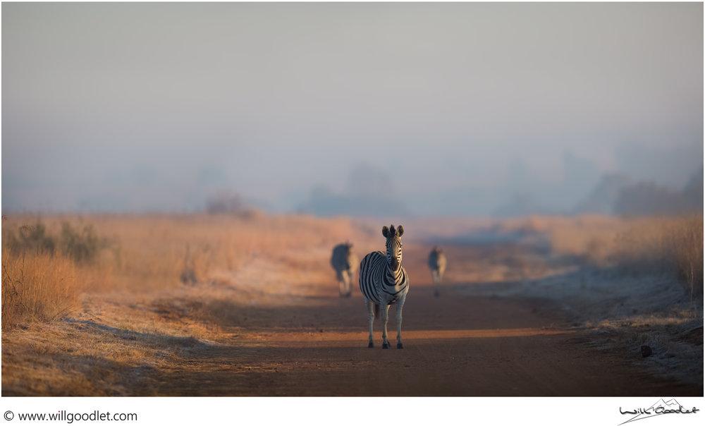 favourite-zebra-pano