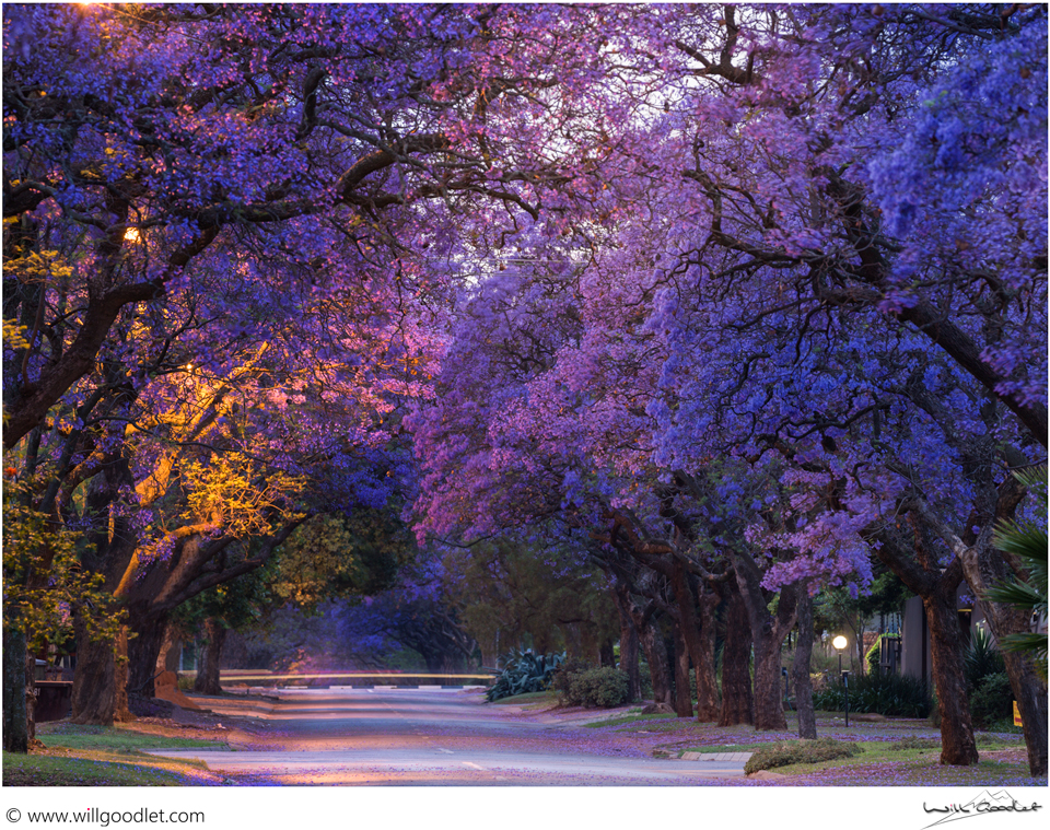 Jacaranda trees before dawn, Pretoria, South Africa.