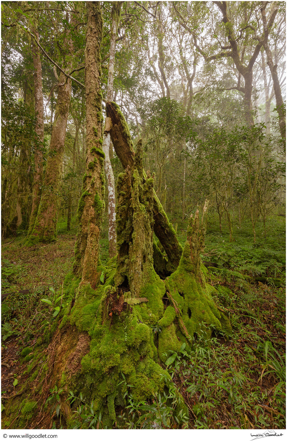 Ancient tree stump, Woodbush Indigenous Forest, South Africa.