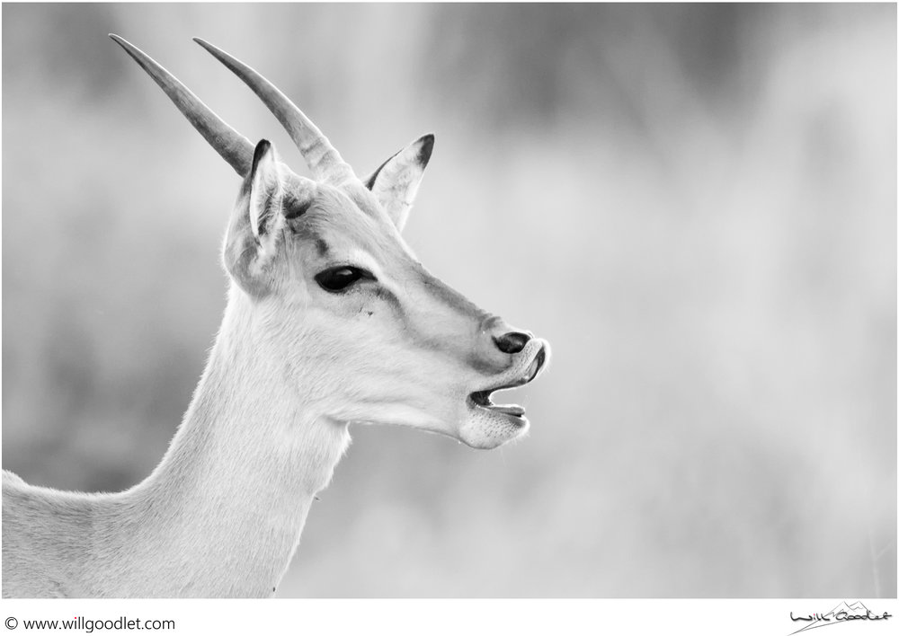 Young impala ram vocalising