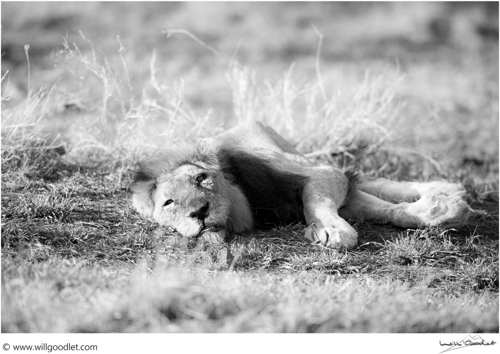 Emaciated and sick, this male lion is clinging on to life.