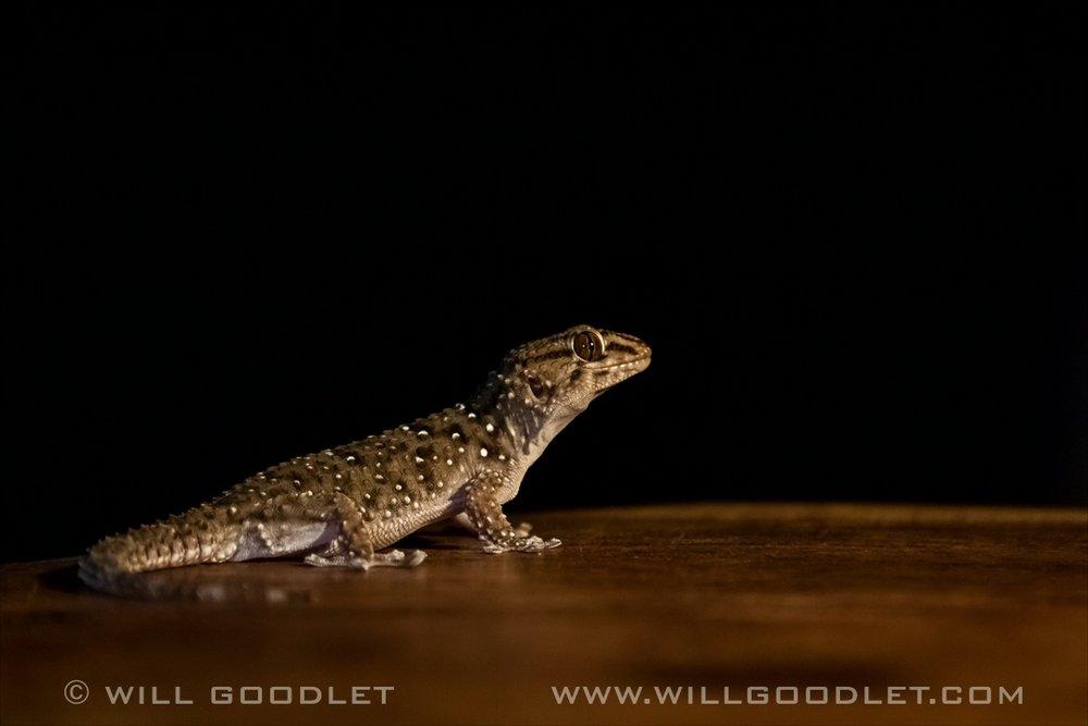 Namirand Nature Reserve, Gecko.