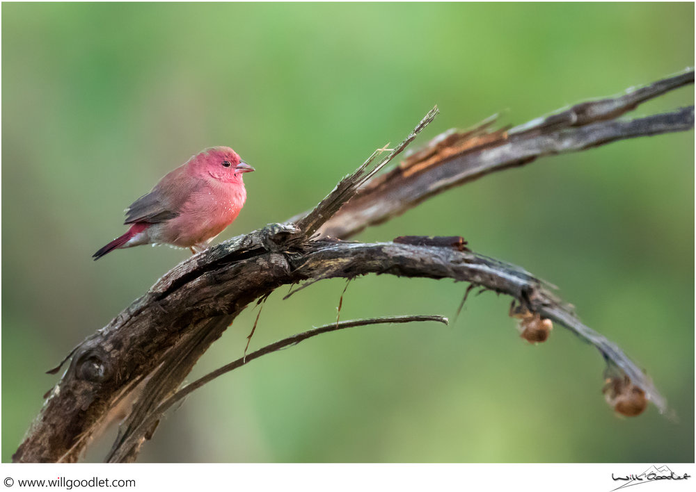 Firefinch in the morning light at Tsendze, Kruger National Park