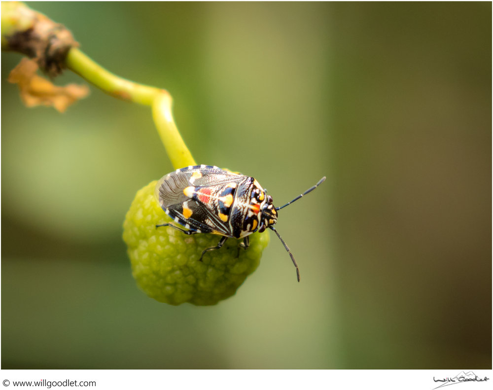 Tsendze Rustic Camp, colourful beetle on a fruit.