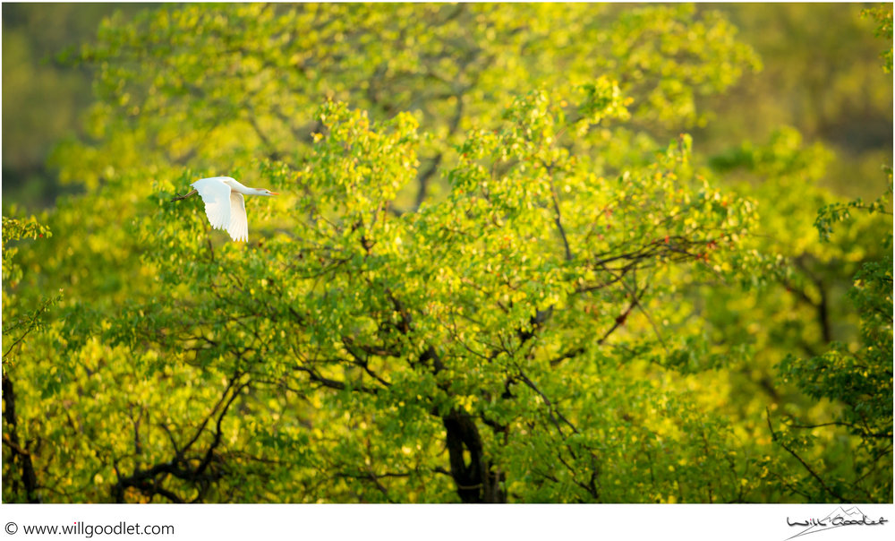 Cattle Egret flies past green mopane trees in the morning sun at Tsendze Rustic Camp