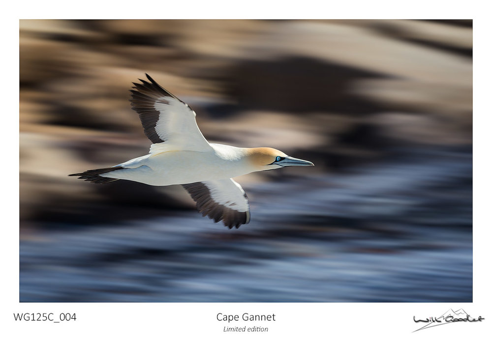 Fine art print - Cape Gannet (Limited to 125)