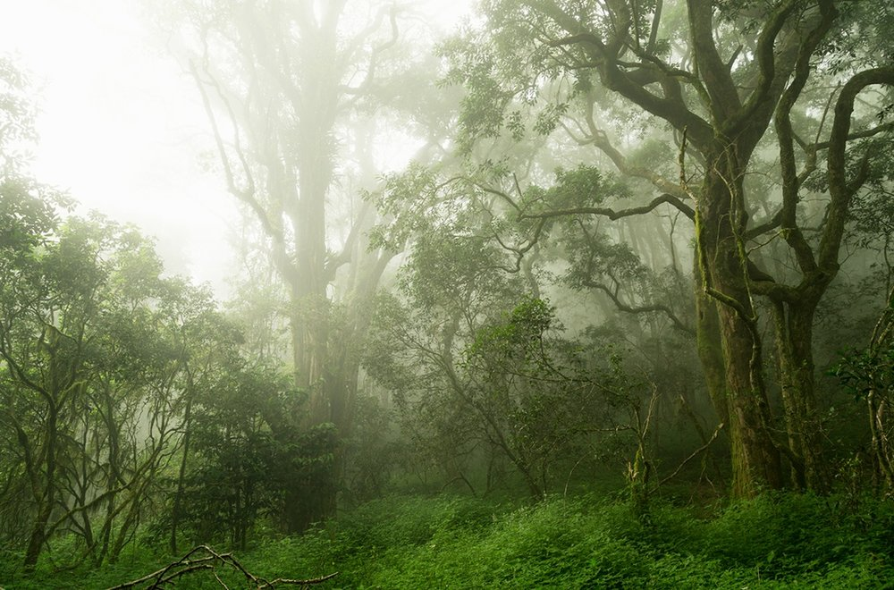 Eerie indigenous montane forest, South Africa.