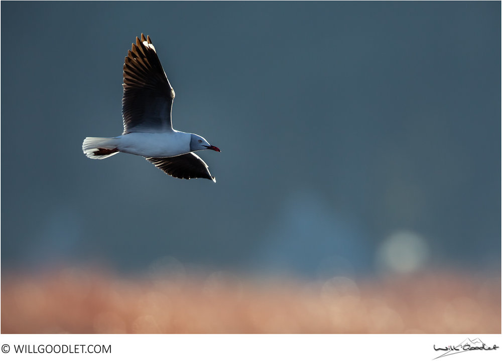 Grey-headed gull, Marievale Bird Sanctuary, South Africa