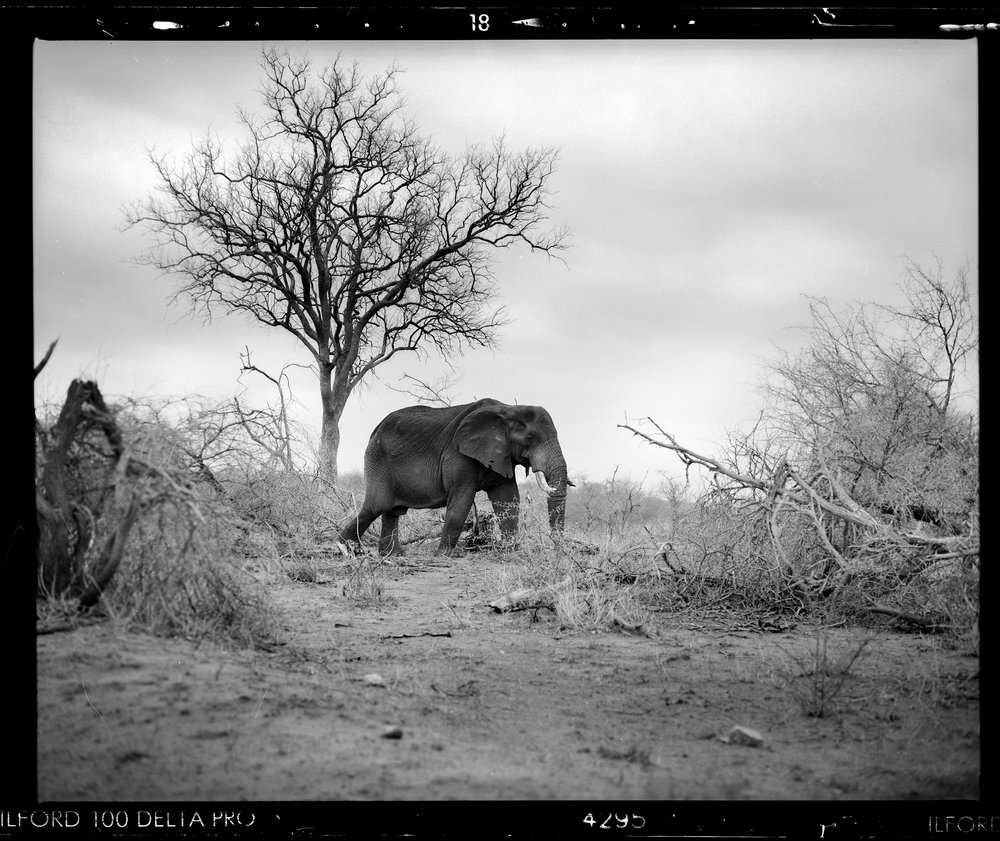 Mamiya RZ67 Proii + 180mm F4 - Ilford Delta 100 developed at home by yours truly...(some people criticise the framing on this image, but do a google search for wildlife shot with a Mamiya 67 and see how many you find! The viewfinder waist-level & back-to-front and the focus is centre only. I was very pleased to make this shot!)
