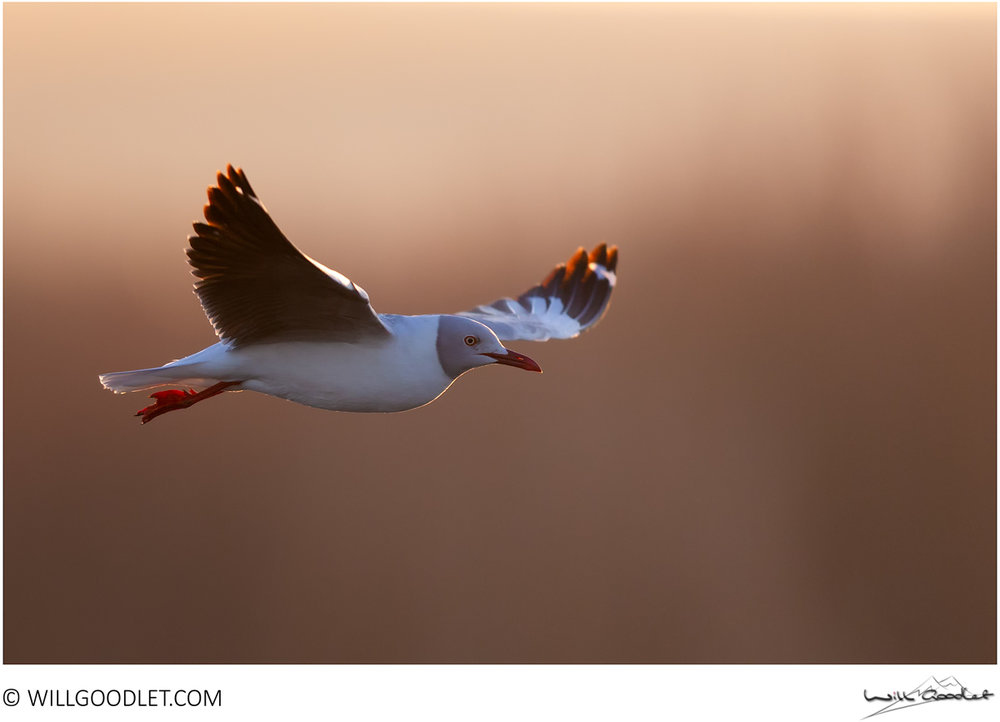 Grey-headed gull at dawn, Marievale.