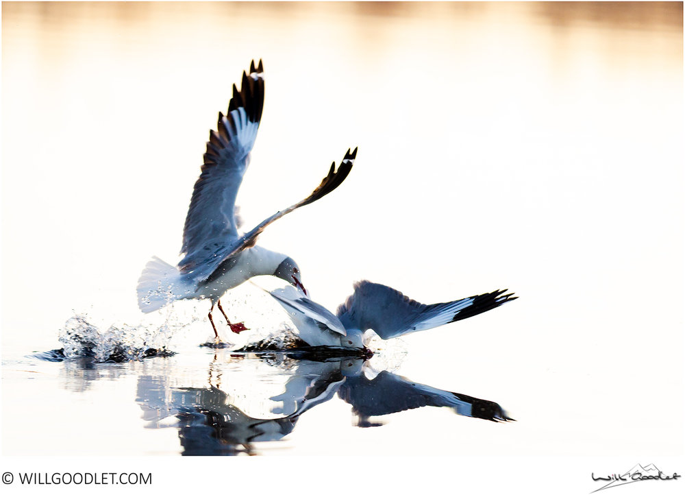 Grey-headed gulls fighting, Marievale South Africa.