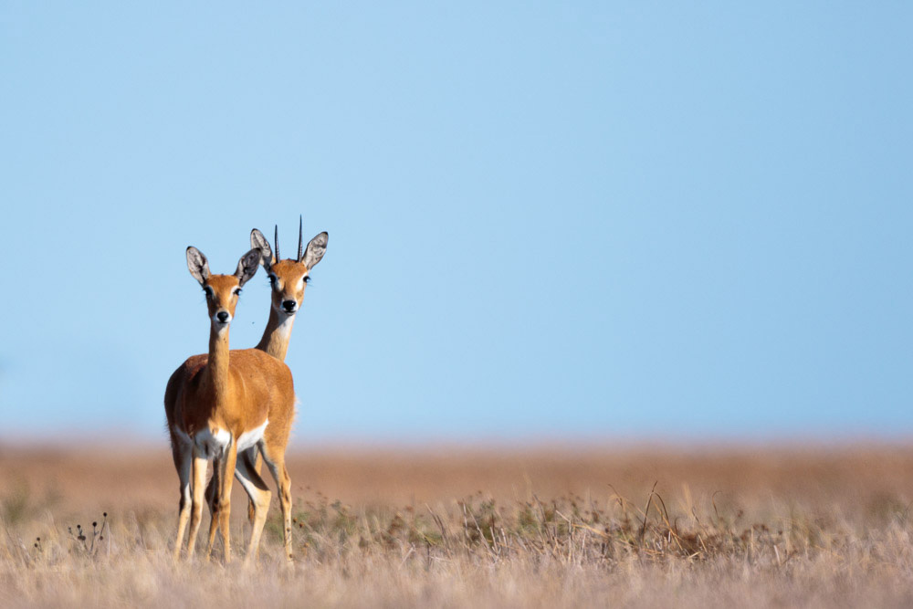 Male and female Oribi watch warily