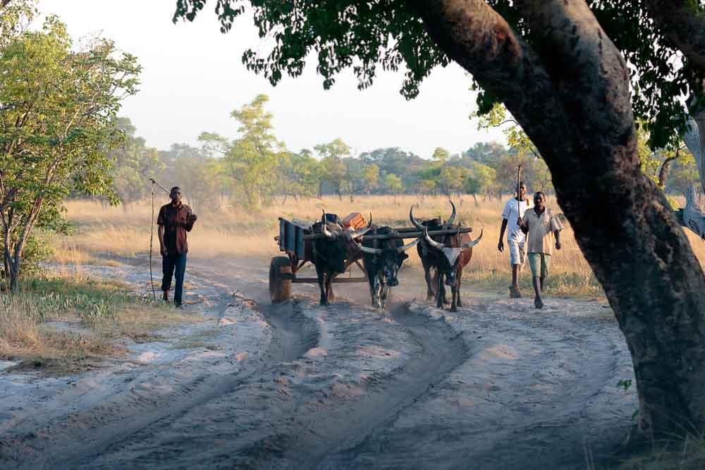 Ox wagon on the way to Kalabo