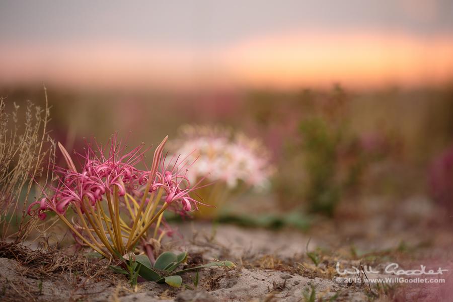 A lily of Liuwa