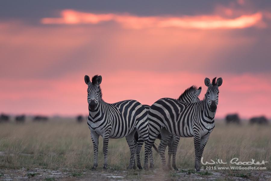 Zebra wary of hunting hyena close by