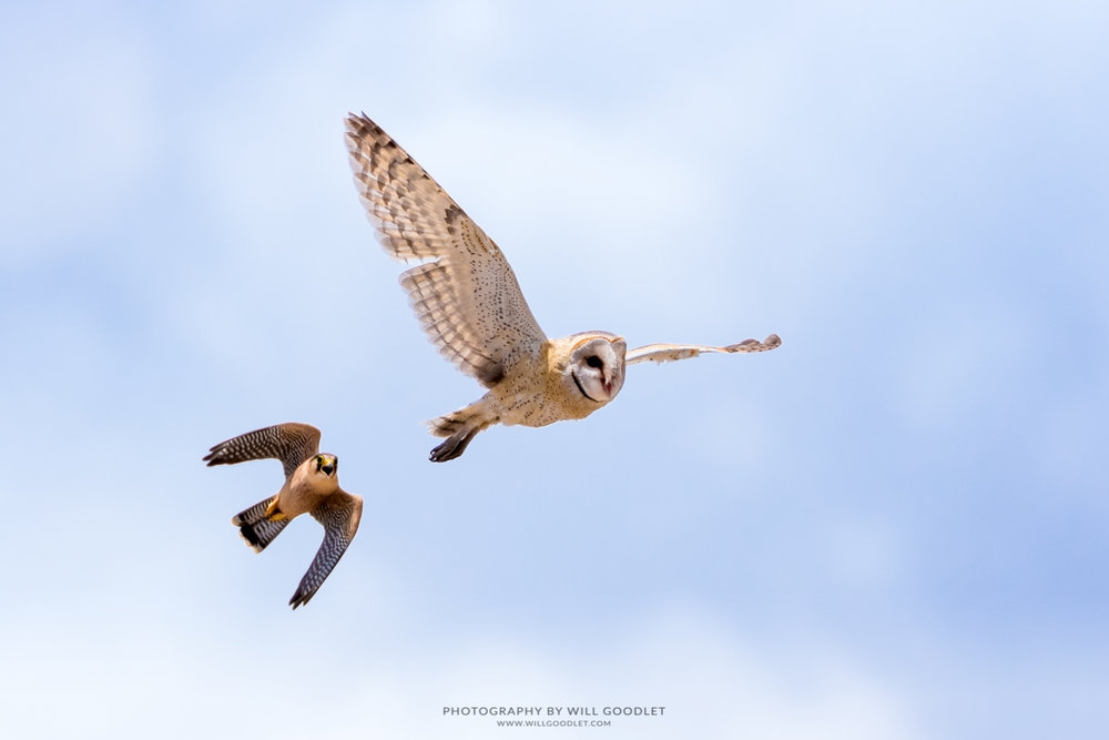 Red-necked falcon chases a barn owl