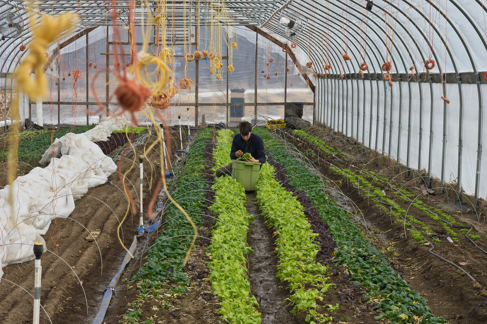Ryan harvesting mesclun mix, photo by Adam Ford