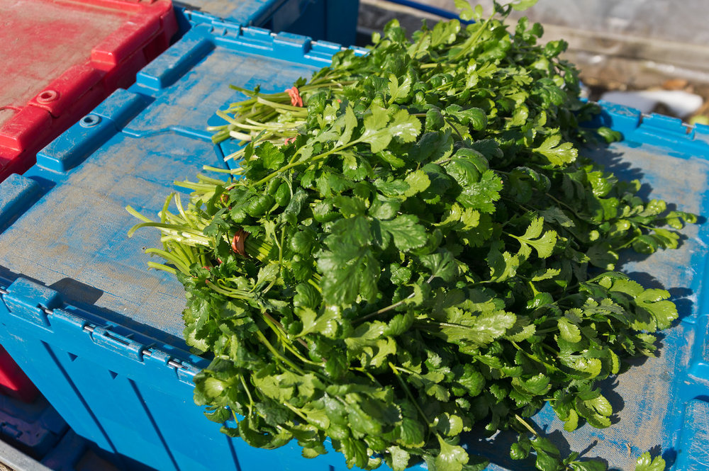 last week's cilantro bunches, photo by Adam Ford