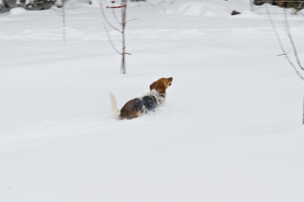 Wild little Callie trying to make a break for it in the snow! photo by Adam Ford