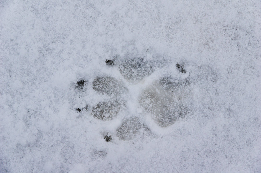 Dope picture of a paw print in the snow, photo by Adam Ford