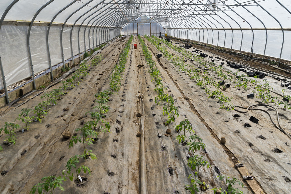 tomatoes after transplant, photo by Adam Ford
