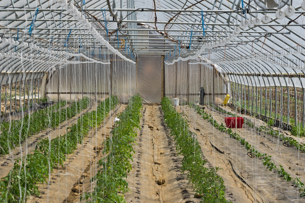 early tomato tunnel looking grand, photo by Adam Ford