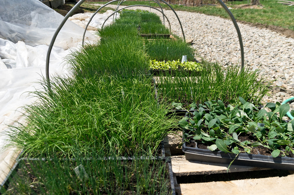 onion seedlings looking green and big as they patiently wait transplanting, photo by Adam Ford