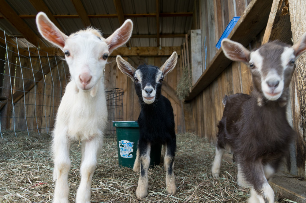 If the goat babies formed a boy band, this would be their album cover, photo by Adam Ford.