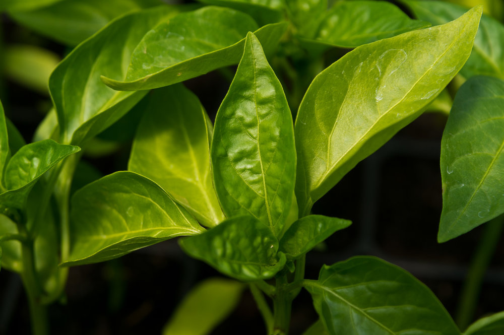 pepper plant, photo by Adam Ford