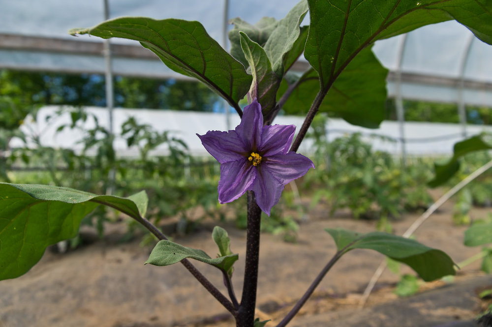 Eggplants are flowering in the unheated tunnel! photo by Adam Ford