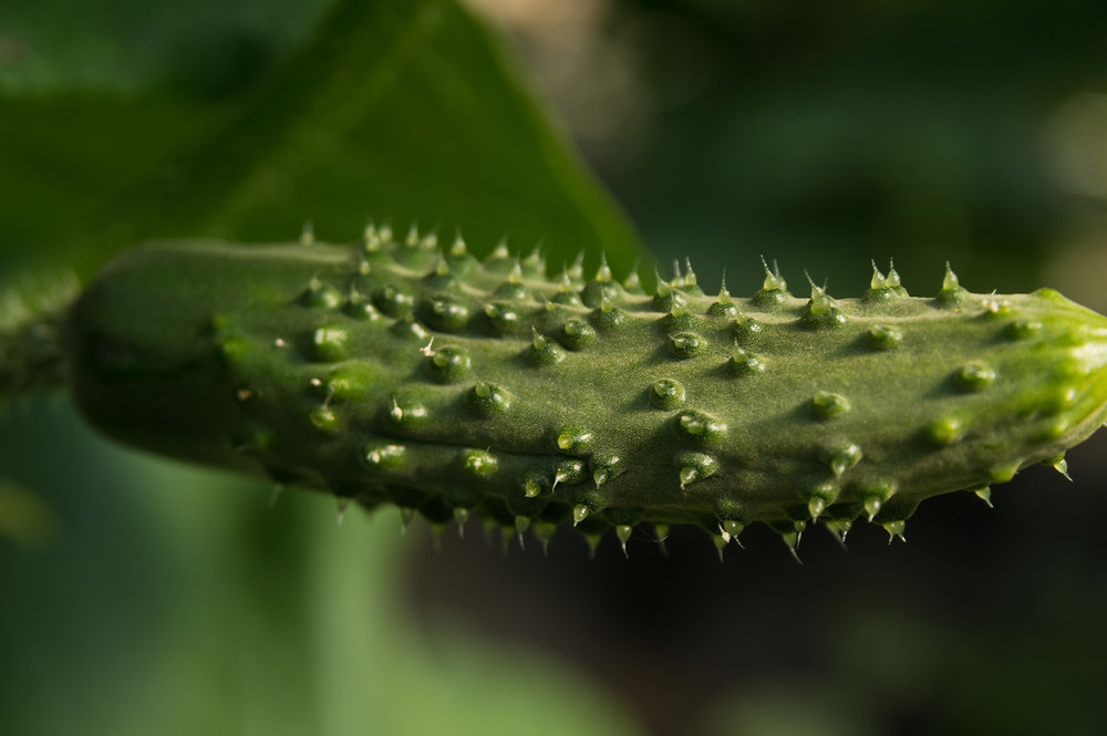 Cucumbers are extra spiky when they are small and still growing... they have to grow into their spikes! photo by Adam Ford