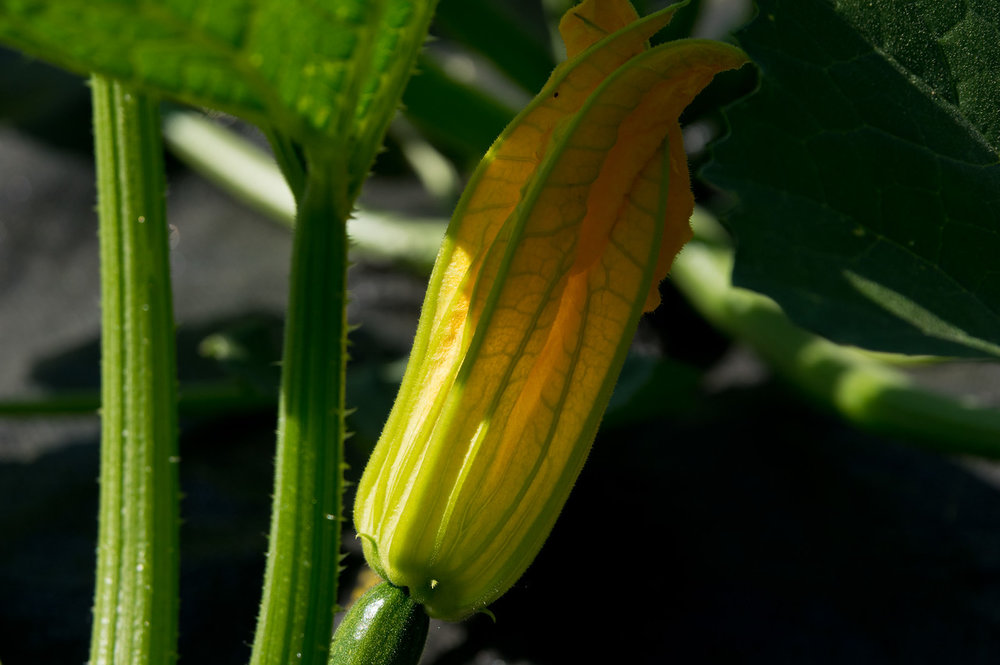 Zucchini plants are flowering! So many things will be ready so soon! photo by Adam Ford