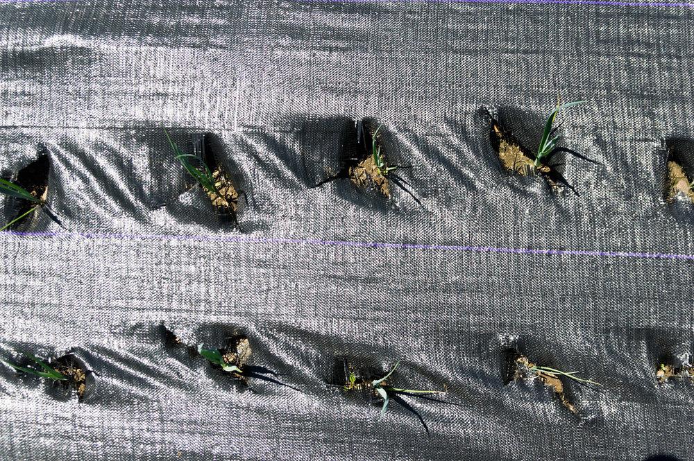 weeded (slow growing) leeks, photo by Adam Ford