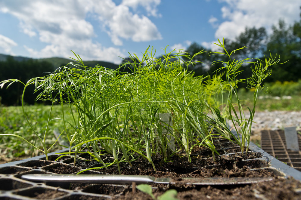 baby fennel transplants being transplanted out, photo by Adam Ford