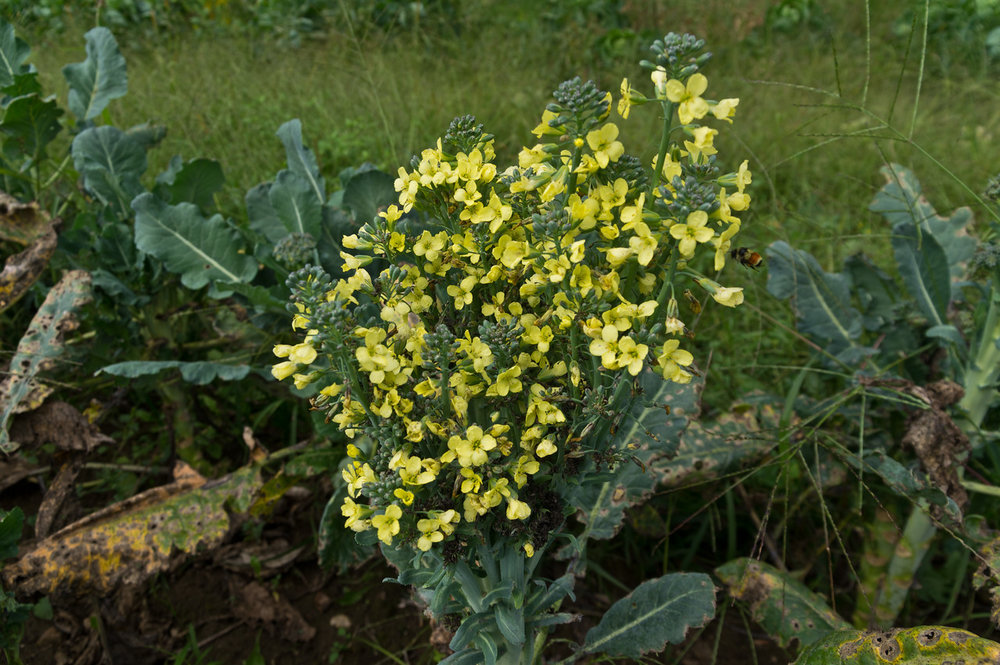 old broccoli plants provide food for pollinators, photo by Adam Ford