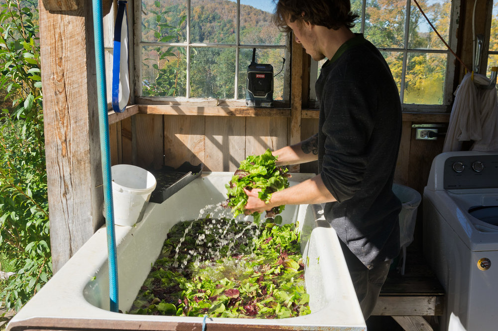 Sam washing lettuce, photo by Adam Ford