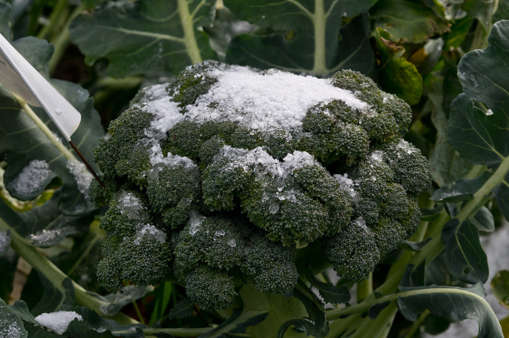 snow on the broccoli! I guess it's the end of the summer CSA for sure! photo by Adam Ford