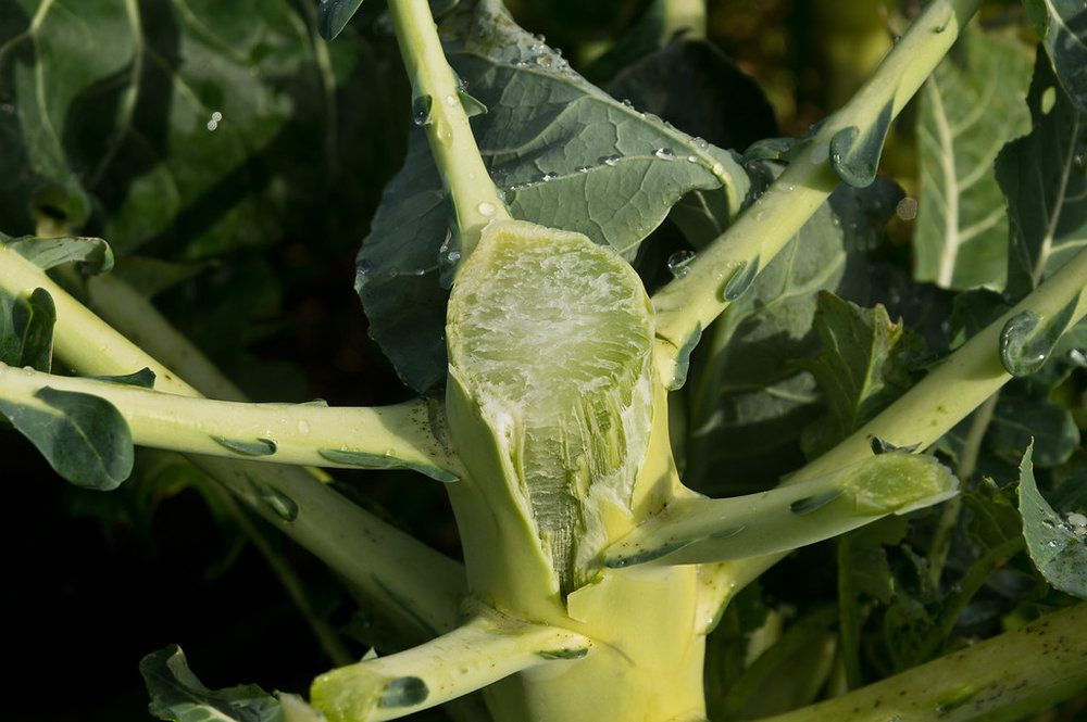 some people don't know what broccoli plants look like…. do you? This is the stem of a broccoli plant after the head has been harvested. Each plant grows big, with lots of wide leaves. Each plant grows one flowering head, and plants take up about 2 feet in either direction. It's a space consumer for sure, photo by Adam Ford