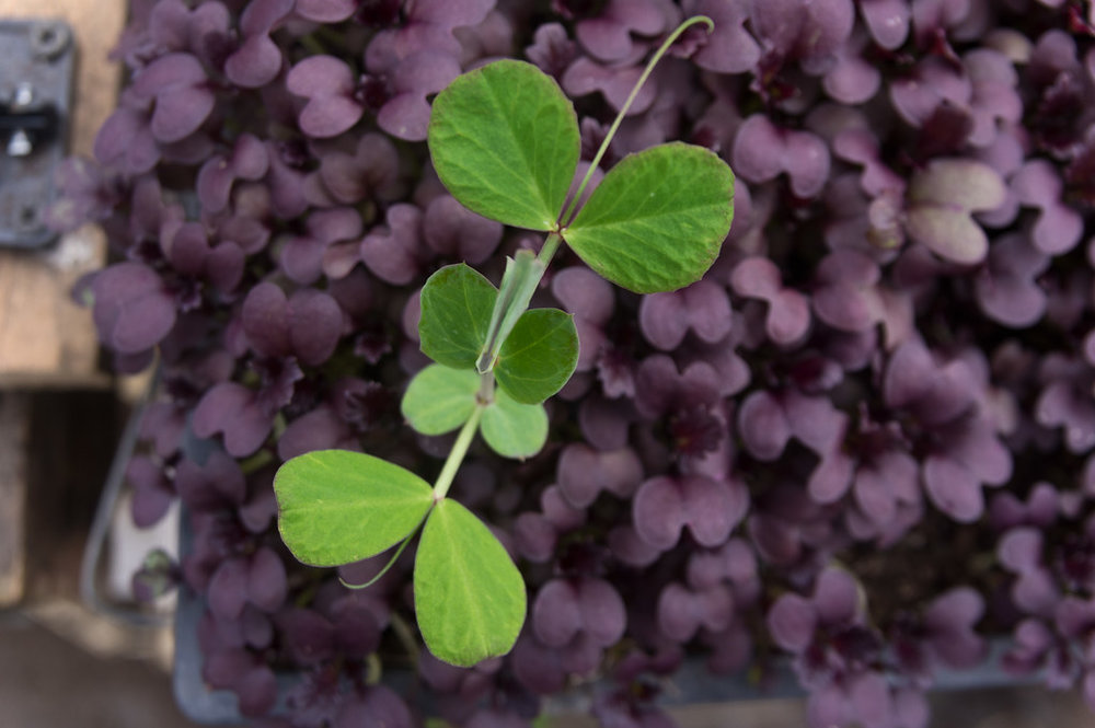 "a pea shoot ""weed"" in a tray of microgreens, photo by Adam Ford"