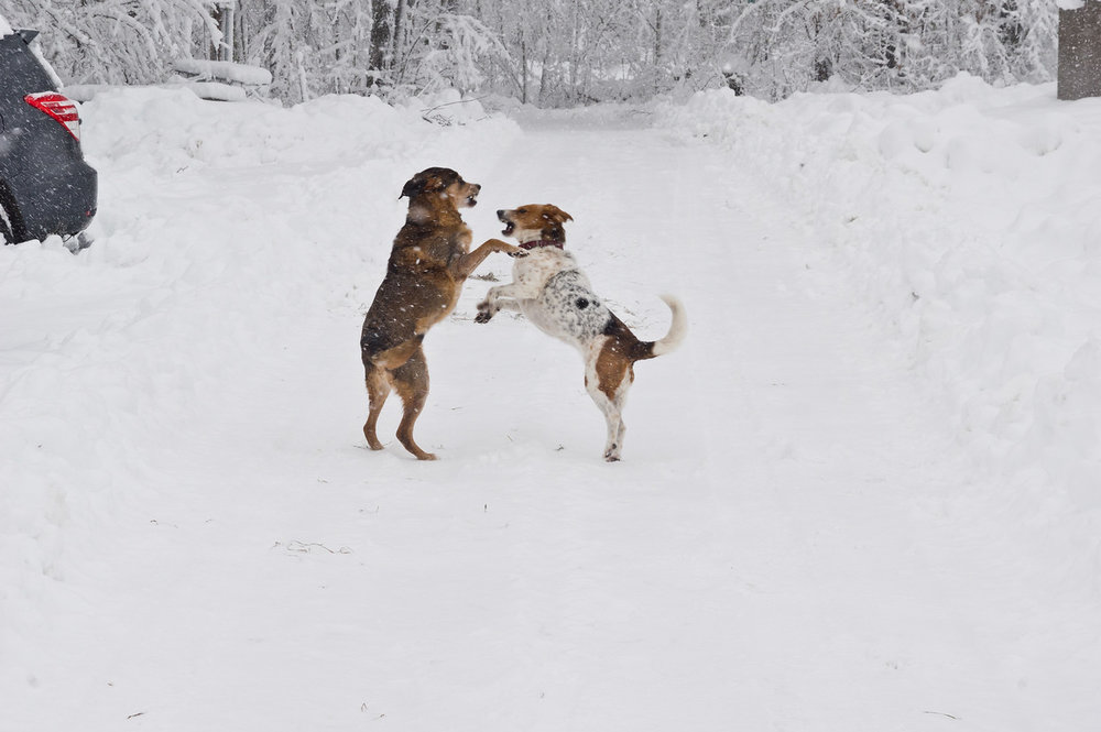 Adam takes unbelievable photos of the animals, and this shot of Callie and Echo playing like the wild dogs they are in the snow is fantastic, photo by Adam Ford