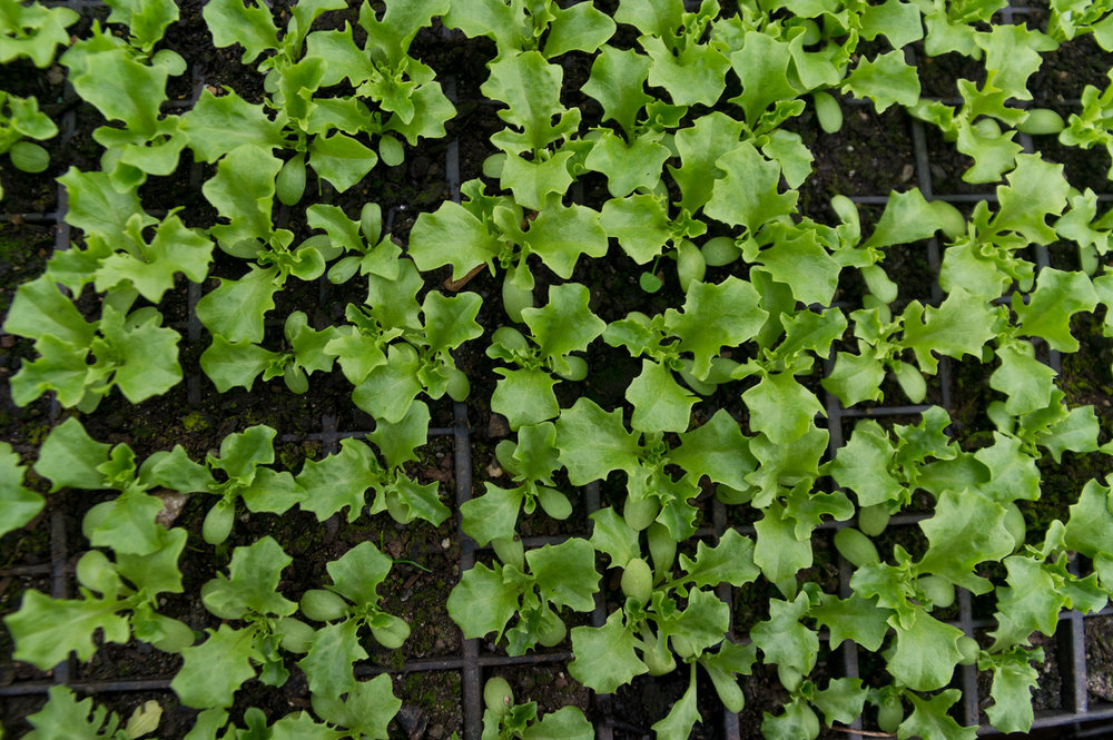 lettuce seedlings, photo by Adam Ford