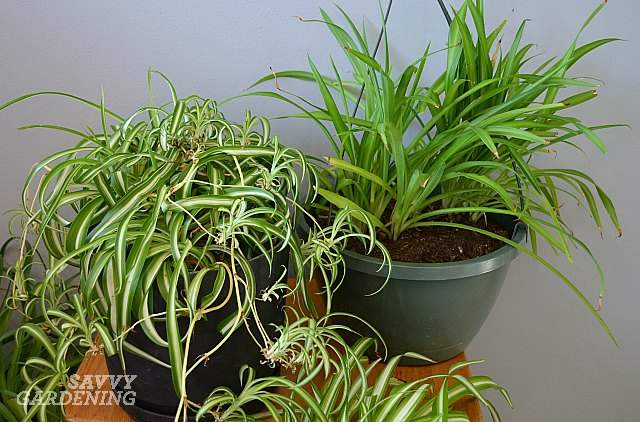 spider-plants-are-air-purifying-plants-safe-for-dogs-and-cats.jpg
