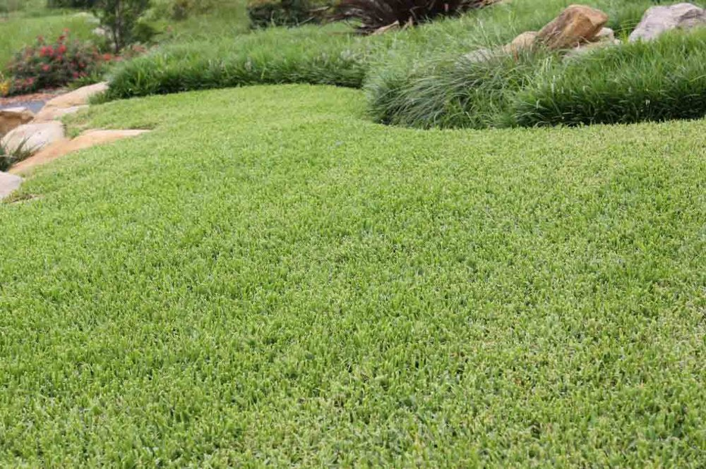 Growing-That-Perfect-Buffalo-Lawn-Palmetto-Buffalo-Grass.jpg
