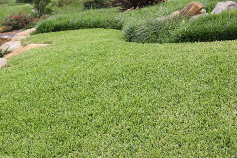 Growing-That-Perfect-Buffalo-Lawn-Palmetto-Buffalo-Grass.jpg