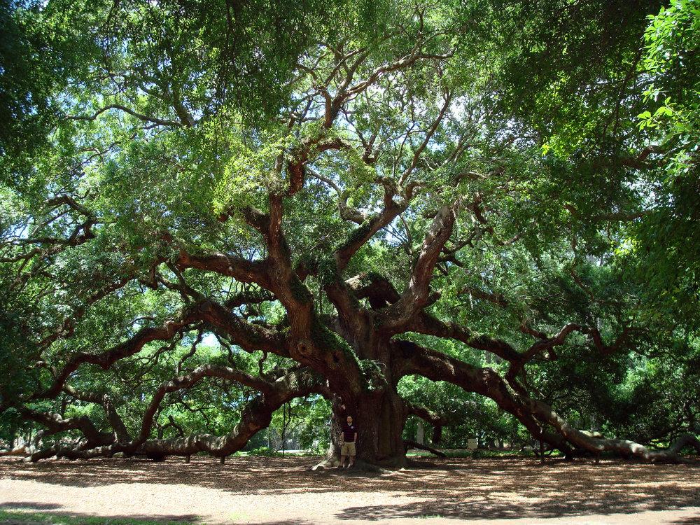 Angel_Oak_Tree_in_SC.jpg
