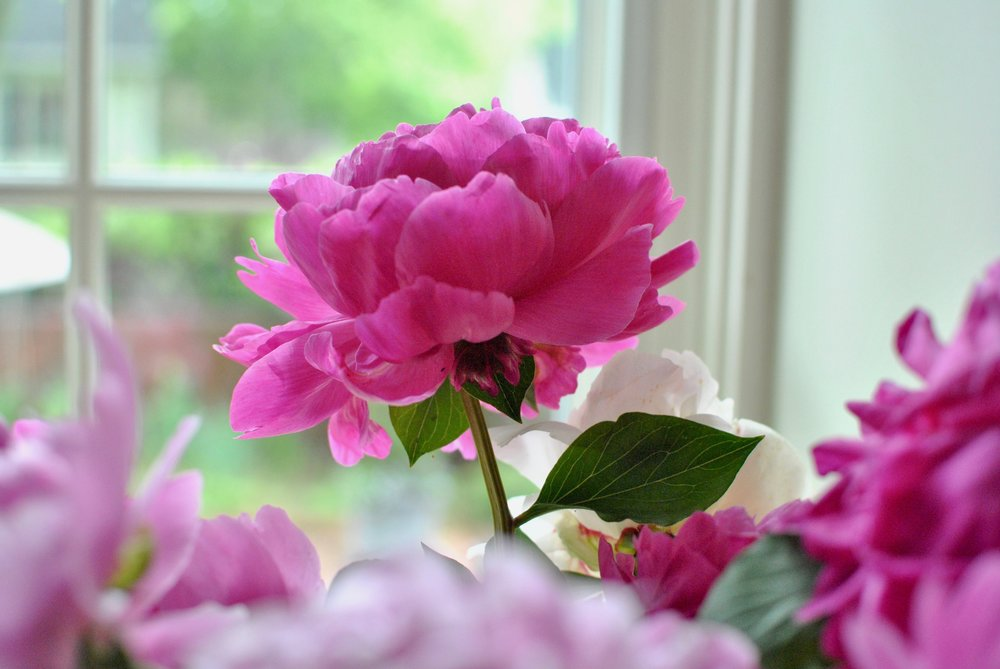 Beautiful peonies!