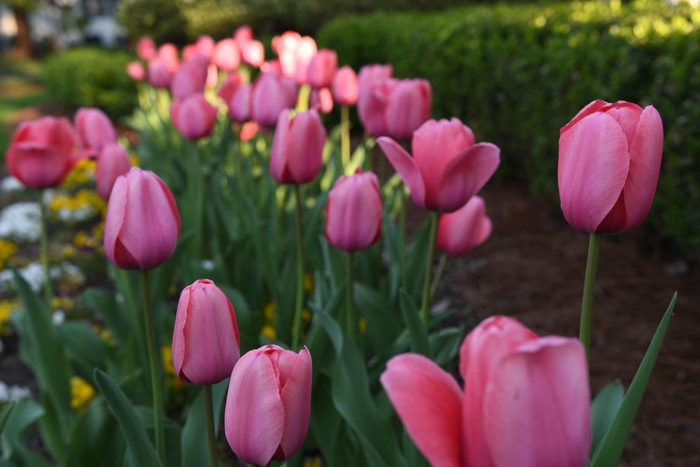 Tulips - Crazy Blonde Life April 2019