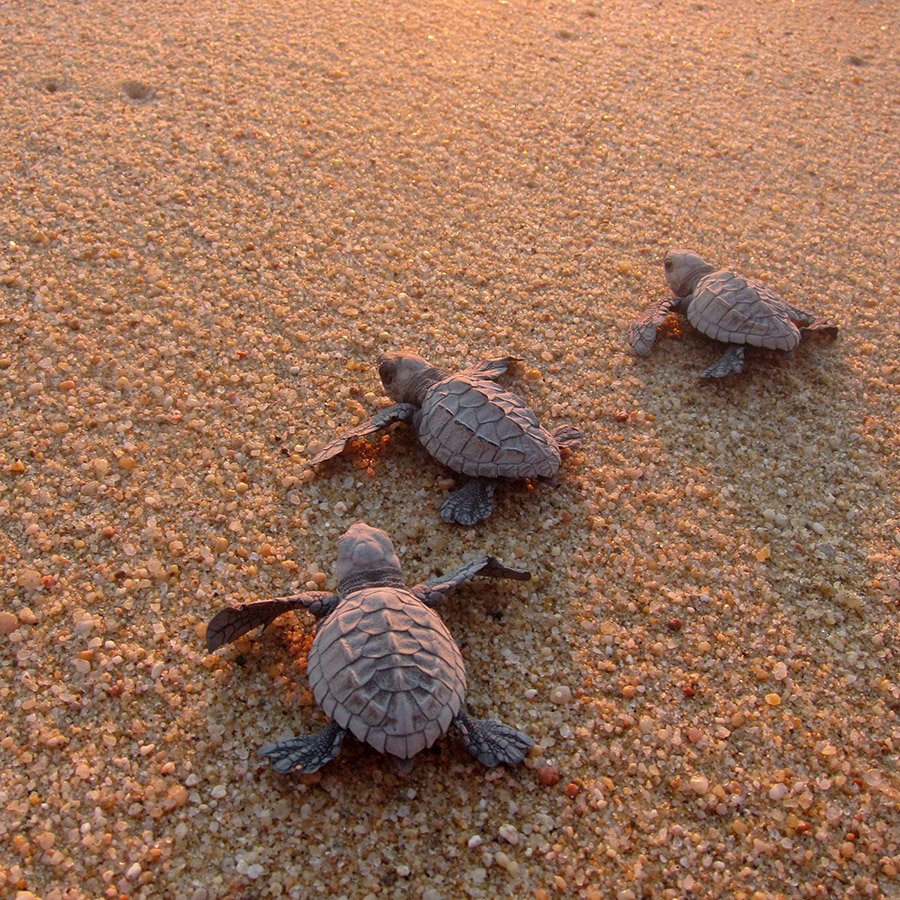 gallery_sea_turtle_hatchlings_sand.jpg