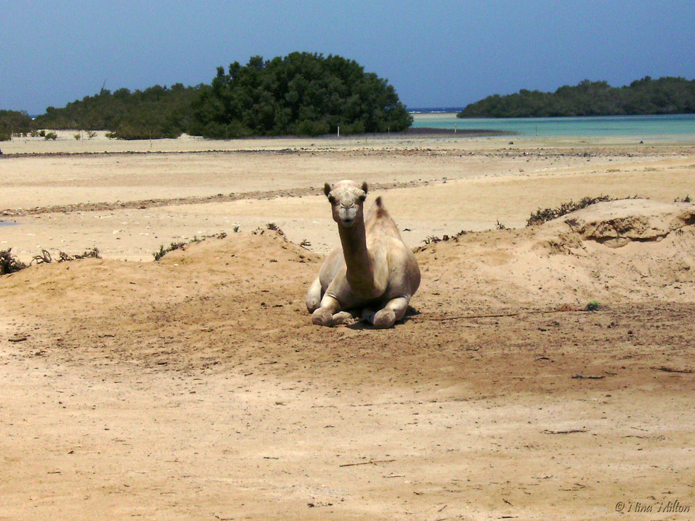 Dahab_trips_excursions_Red Sea_Egypt_Sinai_Nabq_Camel_Mangrove.JPG