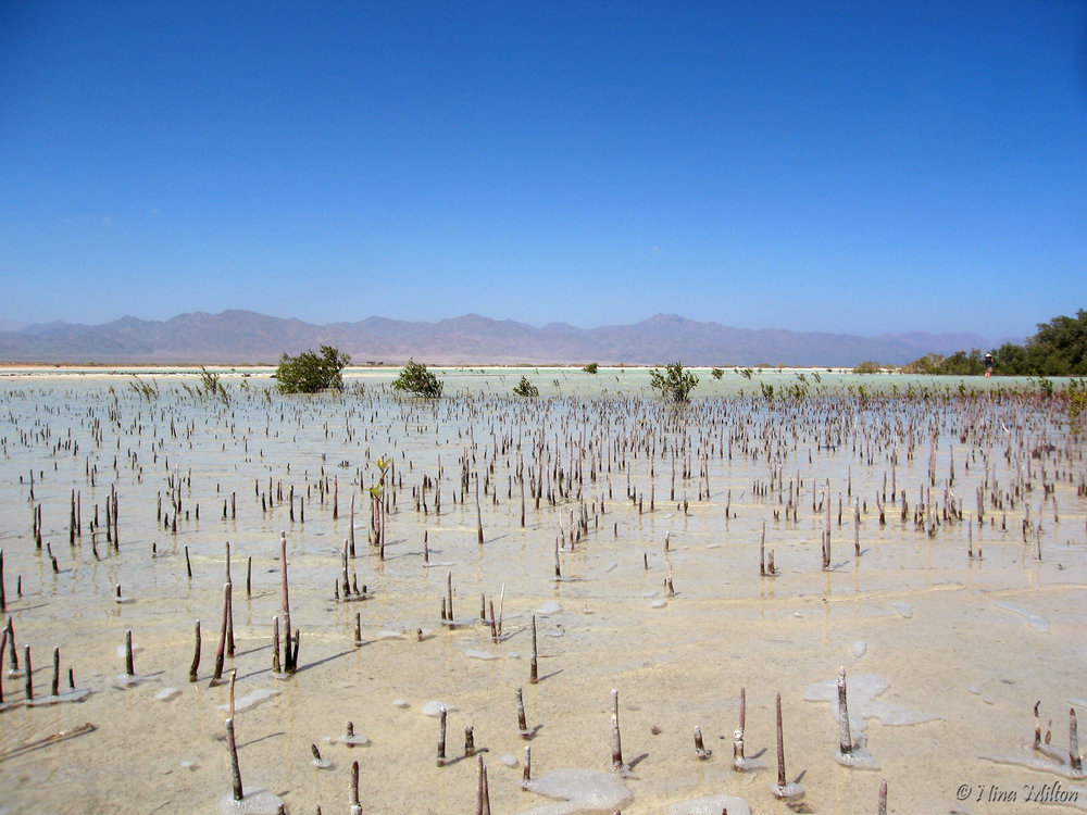 Dahab_trips_excursions_Red Sea_Egypt_Sinai_Nabq_Mangrove_roots.JPG